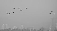 Migratory birds in city ([s e l v i n]) Tags: india bird birds bombay mumbai birdphotography bhandup selvin bhanduppumpstation