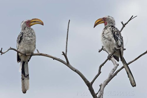Southern Yellow-billed Hornbill , male  and  female_3407