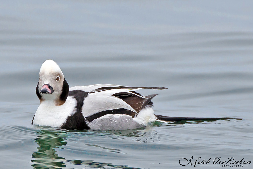 Long-tailed Duck (Oldsquaw)