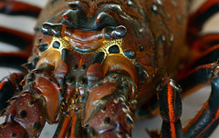 Big Bug (VenturaMermaid) Tags: pacificspinylobster lobster bug crustacean horn eyes closeup f56 100mm carapace spiny