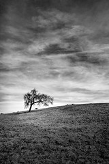 A Tree and a Bull (StefanB) Tags: 2017 california clouds geotag nexus6p outdoor sanjose santateresacountypark sky tree treescape