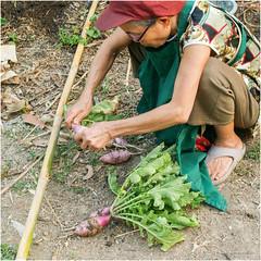 mom with her Radish (b. inxee♪♫) Tags: radish vegetable