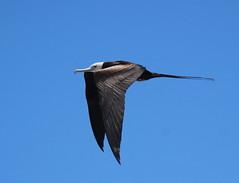 Canon2017.03.17 3138 (seahorse19911) Tags: birds brittanyanddadsvisit canon20170317 drytortugas florida floridakeys magnificentfrigatebird