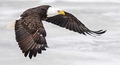IMG_5973 Bald Eagle (Wallace River) Tags: aboiteau baldeagle bito icefishing wallacebay