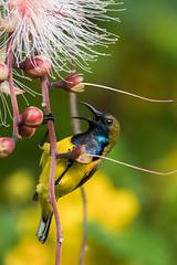"""Go away!"" - Olive Backed Sunbird (Hidayat Tan) Tags: wildlife nature photography animals singapore olivd backed sunbird bird birders avian"
