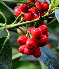 Japanese Laurel, Aucuba japonica (Joan's Pics 2012) Tags: japaneselaurel red shiney berries green bushes lilfordpark explore