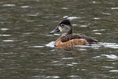 Ring-necked Duck female-1