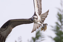Osprey 4-5-2017-13 (Scott Alan McClurg) Tags: aalba ardea ardeidae algae animal back backyard fall fish fishing flap flapping flight fly flying glide gliding glow greategret hunt hunting land landing life nature naturephotography neighborhood pond portrait sky spring wetlands white wild wildlife