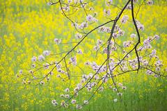 springlike color (ryex) Tags: canola cherryblossom spring sakura 桜 菜の花 醍醐池