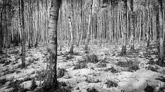 Birch Forest (ddimblickwinkel) Tags: forest wald lausitz sachsen deutschland germany nikon d810 tamron wood snow schnee art bearbeitet sw bw schwarzweiss blackwhite mono blanco blancoynegro