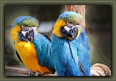 Gelbbrustara / Ara ararauna (Martin Volpert) Tags: mavo43 gelbbrustara araararauna papageien aras vogelparkuckersdorf psittaciformes psittacidae arini