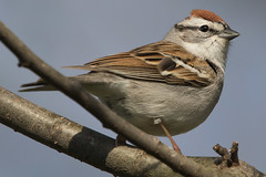 Chipping Sparrow 4-12-2017-13 (Scott Alan McClurg) Tags: emberizidae passeri passeroidea spasserina spizella animal back backyard bird chipping chippingsparrow eat life nature naturephotography neighborhood perch perching songbird sparrow spring suburbs tree wild wildlife woods yard