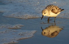 Morning Reflection (RWGrennan) Tags: water surf bubbles fl florida staugustine saint augustine south atlantic bird beach reflection travel morning light rwgrennan rgrennan ryan grennan nikon d5100 sanderling shore wading sandpiper foam sea