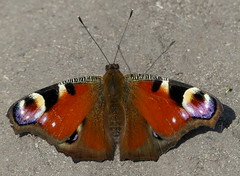 Heatseeker.... (robbie20161) Tags: animals butterflies nature colours wings antennae countryside peacock aglaisio shadows