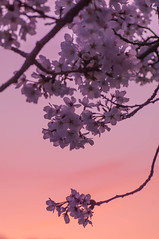 夕方 桜 (tenugui) Tags: sundown sunset twilight 夕焼け 山梨県 桜 桜2017 甲府