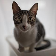 cat portrait (sami kuosmanen) Tags: suomi helsinki kissa cat dof finland funny animal