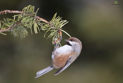 Boreal chickadee - Mésange à tête brune - Poecile hudsonicus (Maxime Legare-Vezina) Tags: bird oiseau nature wildlife animal canon quebec canada