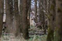 4D3A7793 (marcwalter1501) Tags: damadama daim forêts animaux selestat illwald 5dmk4 canon cervidé