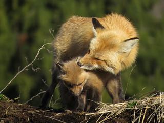 Maman renard roux et ses renardeaux | Jardin botanique de Montréal | Montréall [Explore | 2017-04-15 | R1]