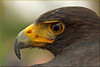 Harris Hawk (Parabuteo unicinctus) (Foto Martien) Tags: harris'shawk harrishawk duskyhawk baywingedhawk wolfofthesky buteo woestijnbuizerd harrisbuizerd peuco busedeharris wüstenbussard faucon busardodeharris halcónoaguililladeharris gavilánmixto gavilánacanelado raptor gavilánrabiblanco gaviãoasadetelha rapaz aguiadeharris birdofprey roofvogel raubvögel avedepresa avederapina rapinantes oiseaudeproie rapace parabuteounicinctus mexico centralamerica southwesternunitedstates southamerica peru chile brazil argentina vlindervallei luttelgeest orchideeënhoeve valkenhof aalten roofvogelshow valkenier falconer flevoland noordoostpolder netherlands nederland holland dutch sonyalpha77 sonyslta77v minoltamacro100mm28mm geotaggedwithgps geotagging geotag a77 martienuiterweerd fotomartien
