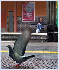 Arrival and departure (geoff7918) Tags: pigeon 172 dorridge kidderminster birminghammoorstreet