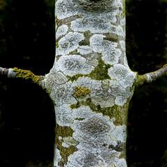 Lecanora chlarotera (Edinburgh Nette ...) Tags: postit lecanora chlarotera xanthoria parietina lichens crustose foliose trees ribbet