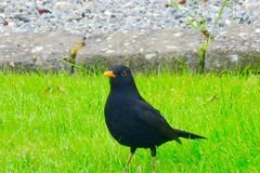 image (kirdygold) Tags: blackbird solsort greengrass grøngræs