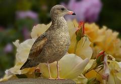 An Eye On You (swong95765) Tags: gull seagull bird eye watching flowers roses pretty beauty
