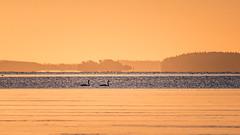 20170329_072720.jpg (jussidimitrijeff) Tags: bird vuosaari muteswan helsinki sea
