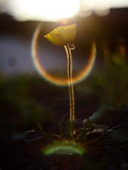* (t*tomorrow) Tags: panasonic lumix gx8 40mm poppy flower フレア 花 ポピー 光