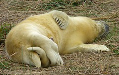 Ssshhh, be quiet you'll wake the baby (Peanut1371) Tags: greyseal seal pup mammal donnanook nationalgeographicwildlife