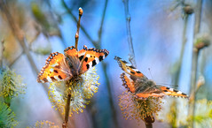 spring (augustynbatko) Tags: spring butterfly painted macro nature april bokeh