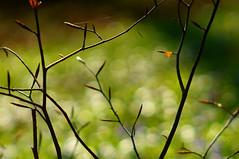 Frühlingszweige (h.ullrich) Tags: meyergörlitz primotar zweige frühling ast grün detail natur pflanze bokeh m42