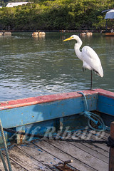 Alf 0017 - 0574 (Alf Ribeiro) Tags: alfribeiro animal atlanticocean bow brazil brazilian day egret greatwhiteheron heron nauticalvessel peruibe pier riopreto saopaulo southamerica water bird boat coastline destinations fishingport flying guesthouse harbor latinamerica mouth nature outdoor outdoors sea ship travel tropical