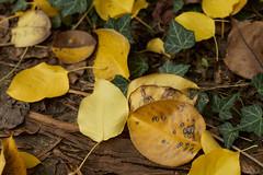 Autumnal Nashi pear leaves and ivy (i-lenticularis) Tags: cloudywbsetincamera macroelmaritr60f28 f28 decayingnashipearleaves fall autumn ivy