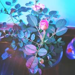 novelty (meeeeeeeeeel) Tags: verdeágua verde teal green flower flor vasodeflores vaso planta corderosa pink rosebud roses roseira rosa rose