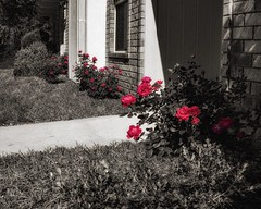 Her Little Bloomers (Oliver Leveritt) Tags: nikond7100 sigma816mmf4556dchsm oliverleverittphotography flowers red roses knockoutroses blooms monochrome blackandwhite sepia platinum withcolor selectivecolor