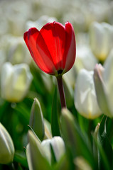 You are unique (James_D_Images) Tags: red tulip white tulips contrast different bokeh tulipfestival abbotsford britishcolumbia
