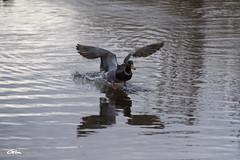 Canard Colvert (giloudim) Tags: canard oiseaudeaudouce eau soir reflection canon7dmarkii exterieur nature animaux