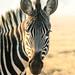 Zebra Portrait, Swaziland