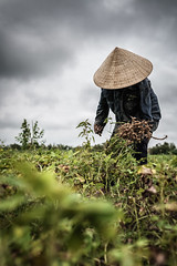 Working for peanuts (Asian Hideaways Photography) Tags: woman work travel travelphotography sky vietnam people asia asian southeastasia farmer green lady exterior candid conicalhat vietnamese naturallight nature natural peanut peanuts harvest reap