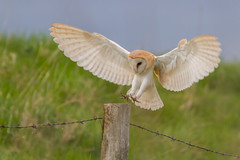 Barn Owl (Tyto Alba) Landing (EddieFinnis) Tags: barn owl dusk light dark hunter predator circle life ring ringed fen perch post barbed wire grass sky flying landing concentration silent flight feet talons wings feathers east anglia ghost
