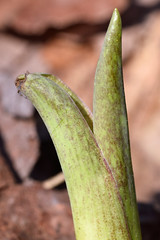 late sterile sprout with equitant bracts, skunk cabbage (ophis) Tags: alismatales araceae symplocarpus symplocarpusfoetidus skunkcabbage sprout