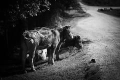 DSC09579 (javier_plazamar) Tags: blackandwhite blackwhite bw sonyalpha850 sony a850 countryside cow cows rawtherapee minoltaaf135mm28 ff fullframe f28 135mm