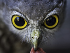 Hunter Eyes (Grant Brodie Photography) Tags: barkingowl wildlife nationalzooandaquarium canberra australia macro grantbrodiecreativephotography