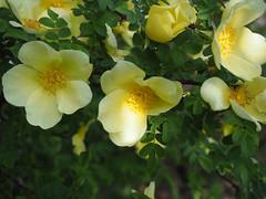 Canary Rose. (dave p brecks) Tags: canaryrose flowers olympus1442 olympusem10markii day113