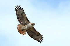 Red-tailed hawk (jlcummins - Washington State) Tags: bird yakimacounty washingtonstate redtailedhawk eiap