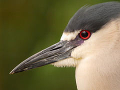 Black Crowned Night Heron (dennisgg2002) Tags: bronx zoo new york city ny nyc