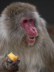 japanese macaque artis JN6A7141 (joankok) Tags: mammal monkey macaque makaak macaca macacafuscata japanesemacaque japansemakaak japan azie asia aap animal artis primaat primate