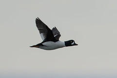 Barrow's Goldeneye (male) (Jeremy Meyer) Tags: barrowsgoldeneye barrows goldeneye duck waterfowl bird sheboygancounty